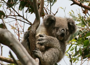 One of Faye's research subjects: A koala