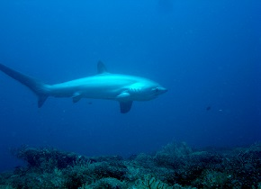 A Thresher Shark Photo Credit: Fiona Hogan