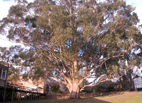 Tree of Knowledge, Mt Helen Campus, July 2006