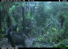 Two Sambar Deer Photographed by a Motion-Activated Camera Photo Credit: Chris Davies