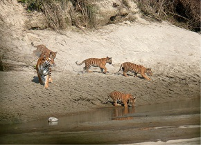 Tiger and Cubs Photo courtesy of National Trust for Nature Conservation (Nepal)